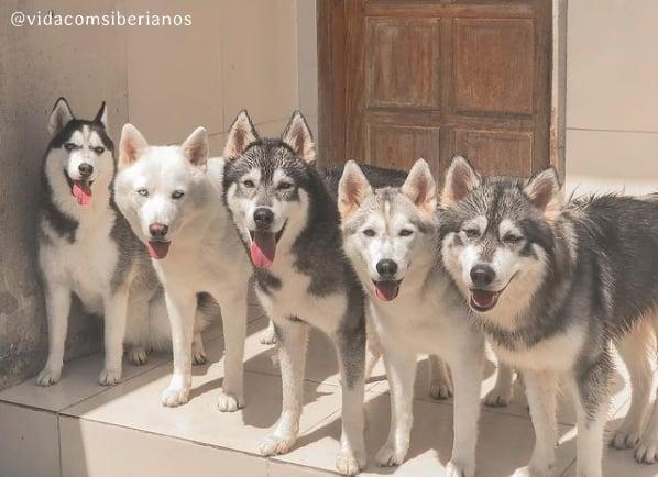 perfil no instagram com familia de huskys siberianos