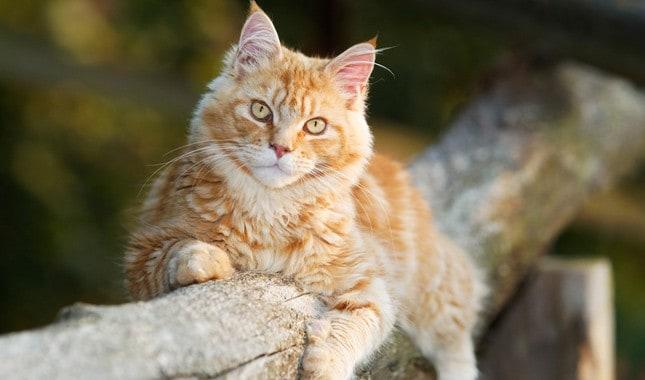 gato gigante em tom de dourado
