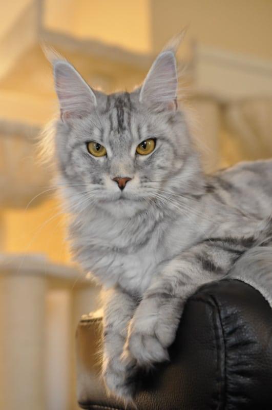 gato gigante com pelo prateado