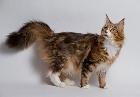 gato gigante com pelos em tons de marrom