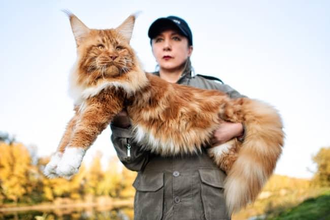 curiosidades sobre gato gigante