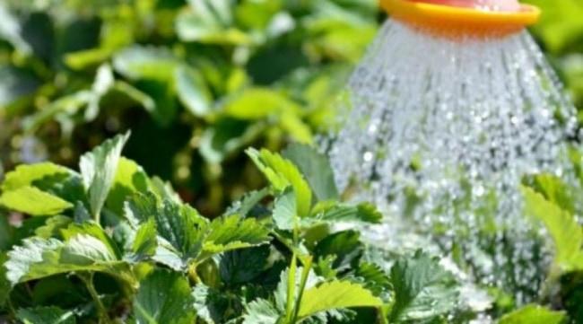 dicas de cultivo e rega para morango