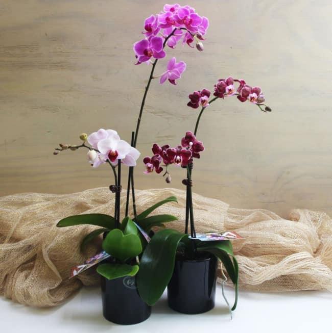 mini orquideas phalaenopsis