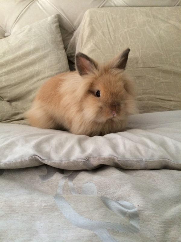 raca de coelho pequeno com pelos