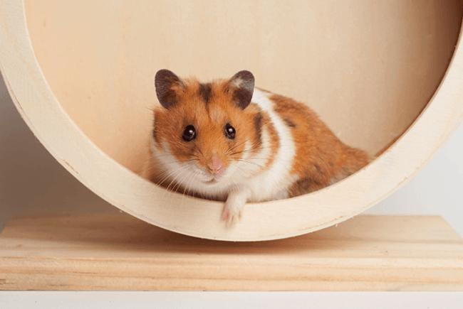 raca de hamster