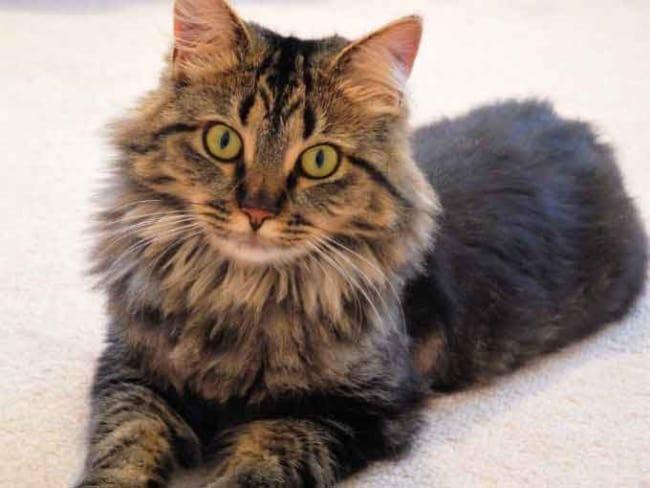 gato gigante de pelo marrom