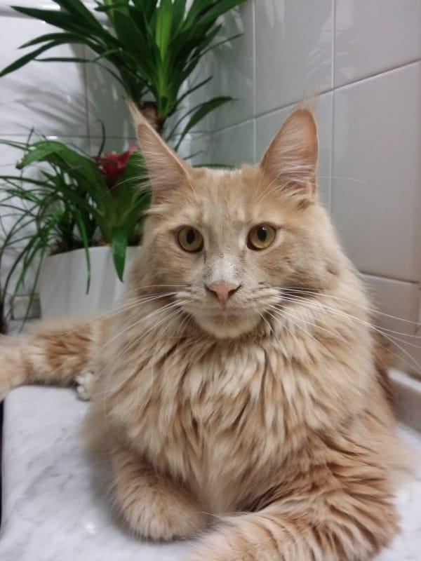 gato maine coon de pelo bege