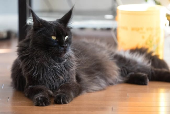 gato gigante com pelo cinza escuro