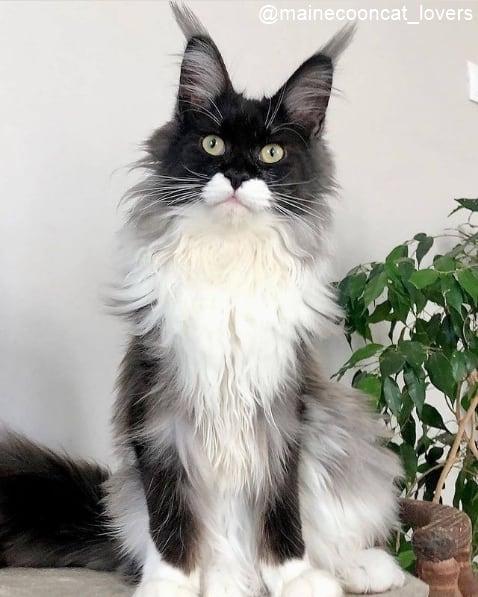 gato gigante de duas cores