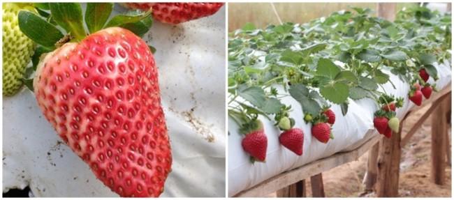 cuidados no cultivo de morango
