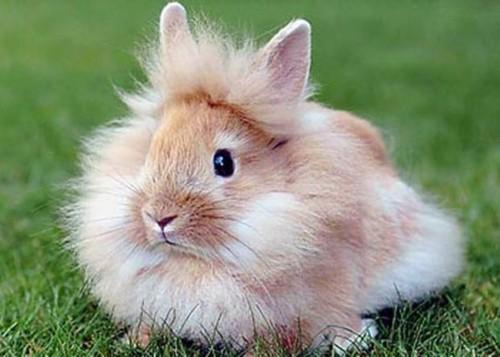 raca de coelho cabeca de leao