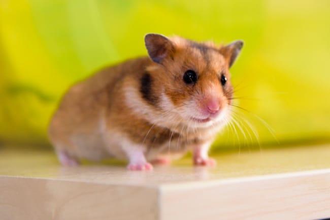 raca de hamster sirio