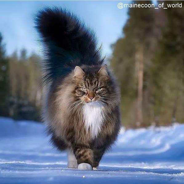 foto de gato gigante