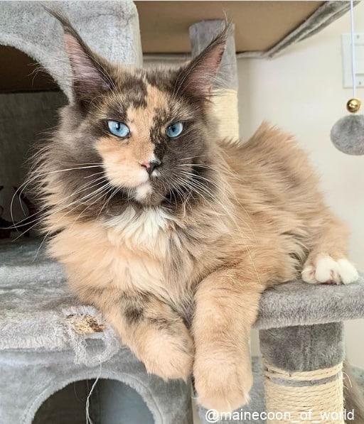 gato maine coon de olho azul