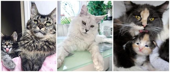 fotos de gatos da raca maine coon