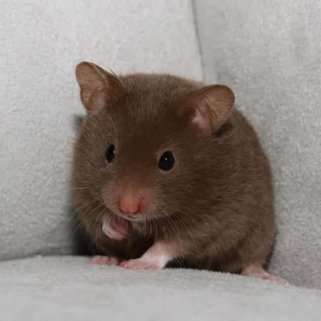 hamster sirio marrom