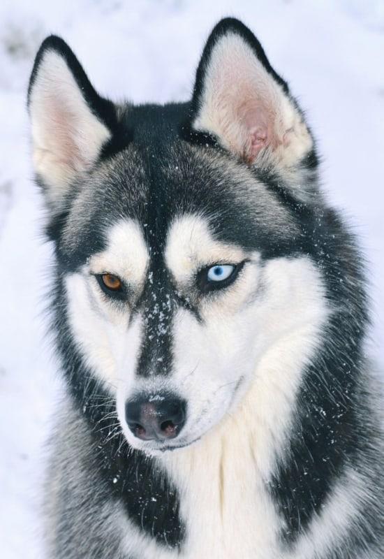 olhos de cores diferentes husky siberiano