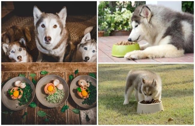 alimentacao para husky siberiano