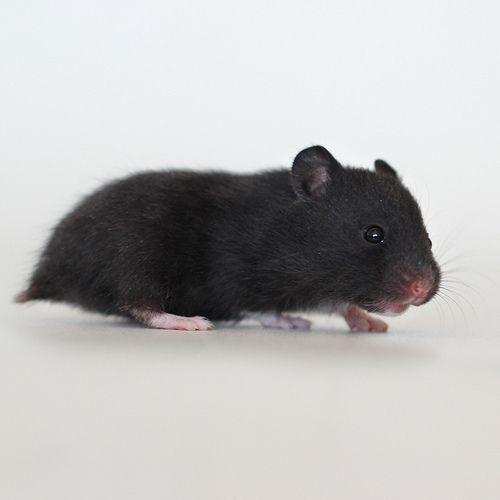 hamster sirio preto