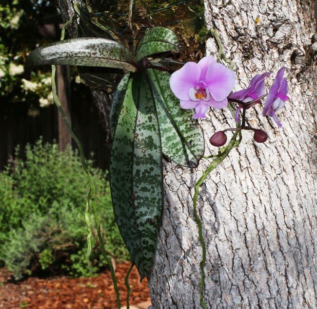 phalaenopsis schilleriana em tronco de arvore