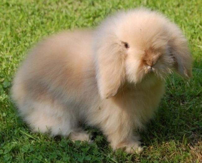 raca de mini coelho