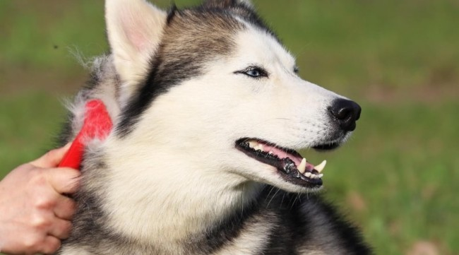 cuidados e higiene com husky siberiano