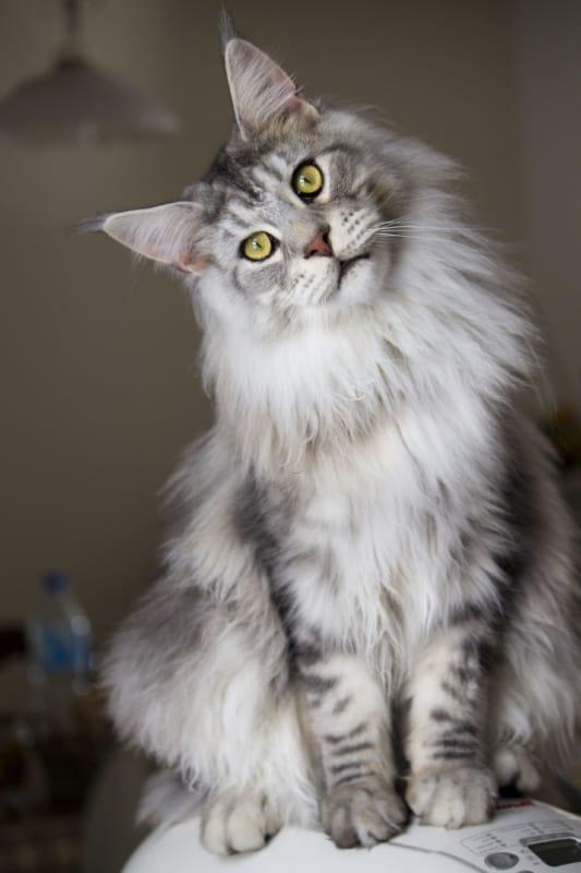 gato maine coon prata