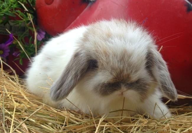 raca de mini coelho com pelos longos