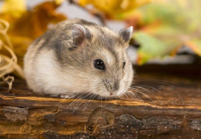 raca de hamster anao