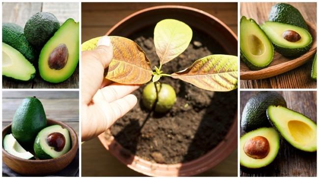 como plantar abacate