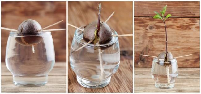 como fazer muda de abacate com semente