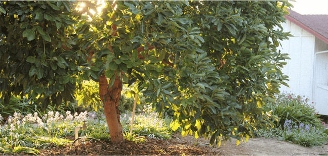 como plantar abacate no solo