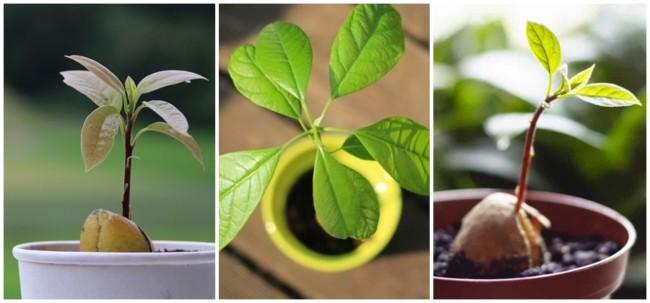 como plantar abacate no vaso