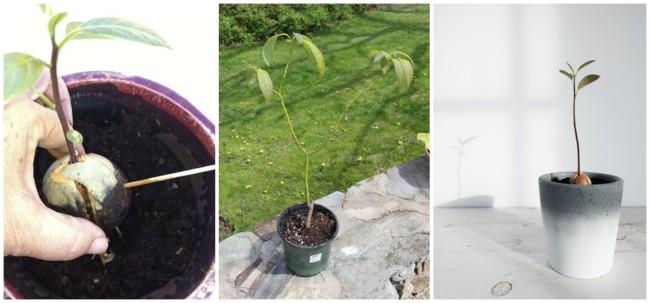 dicas para plantar abacate