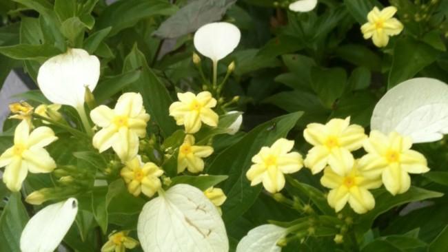 Mussaenda dourada amarela 2