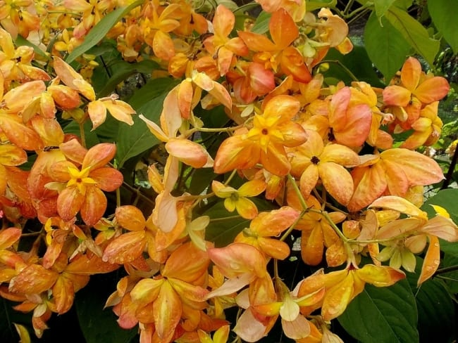 Mussaenda dourada amarela 4