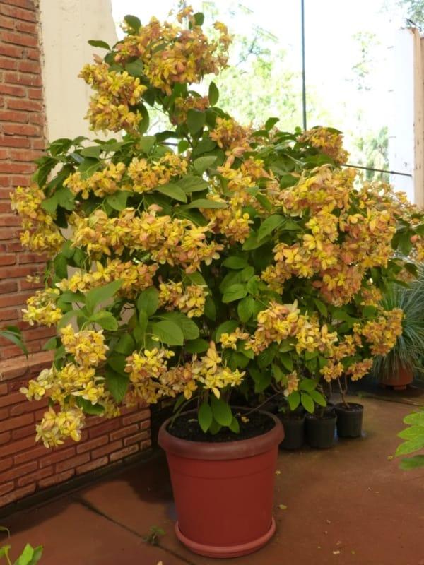 Mussaenda dourada amarela 9
