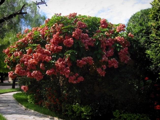 Mussaenda rosa 10