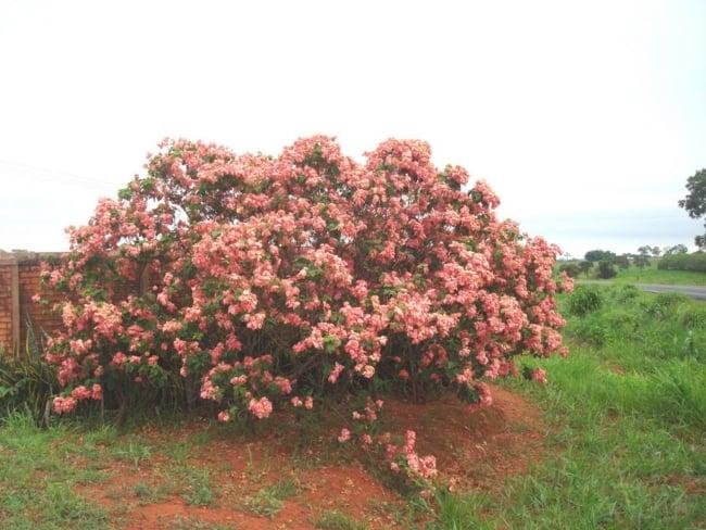 Mussaenda rosa 5