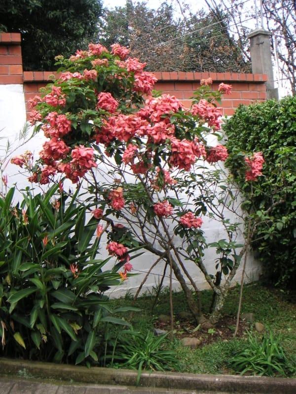 Mussaenda rosa 6