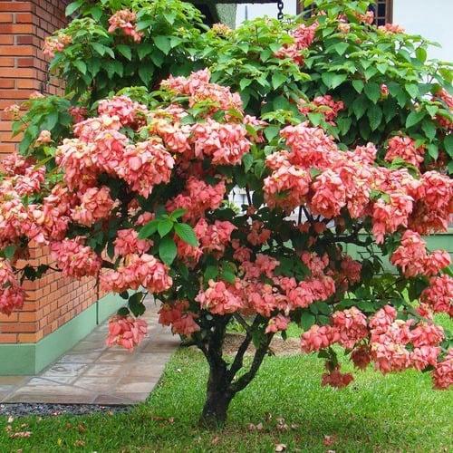 Mussaenda rosa 7