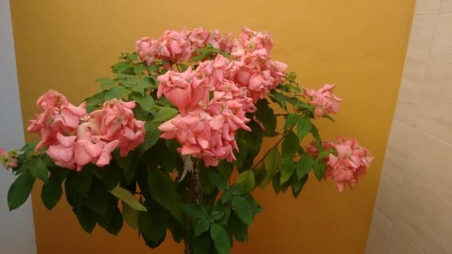 Mussaenda rosa 9