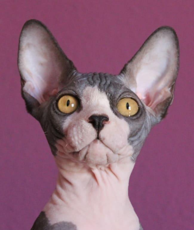 caracteristicas de raca de gato sphynx