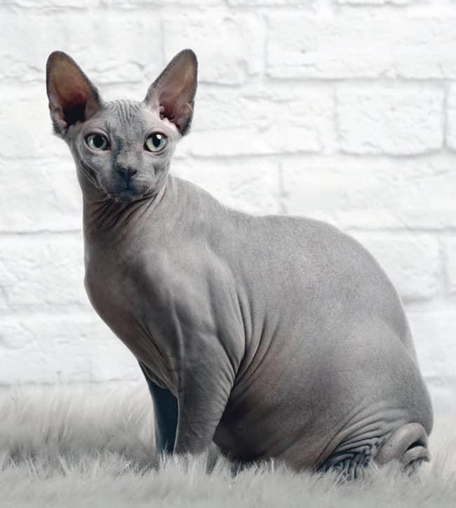 gato sphynx cinza