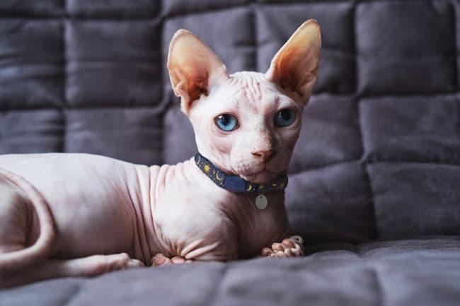 gato sphynx de olho azul