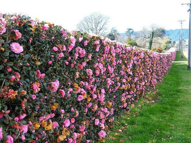 jardim com camelias cor de rosa