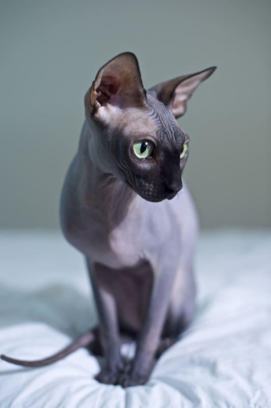 gato sphynx de olho verde