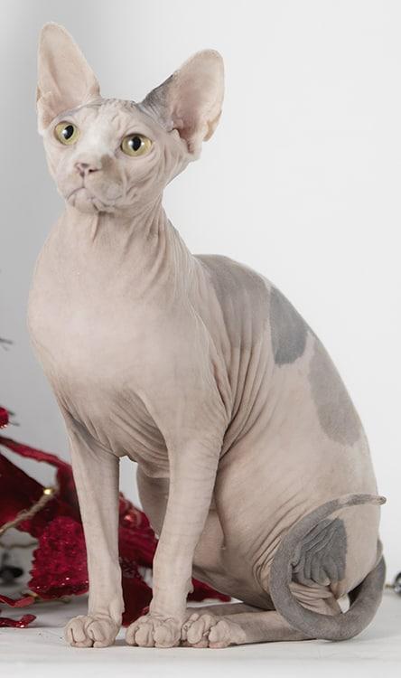 gato sphynx adulto