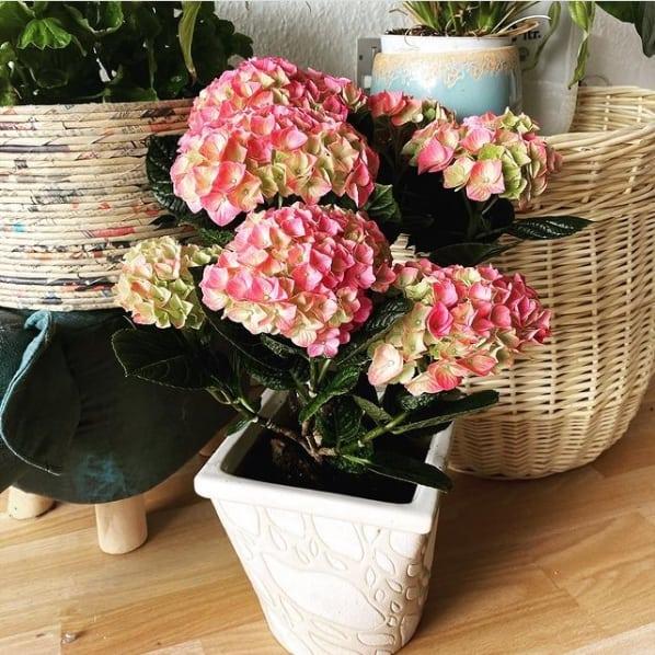 vaso de hortensia rosa