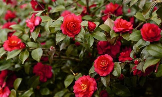 arbusto de camelias vermelhas